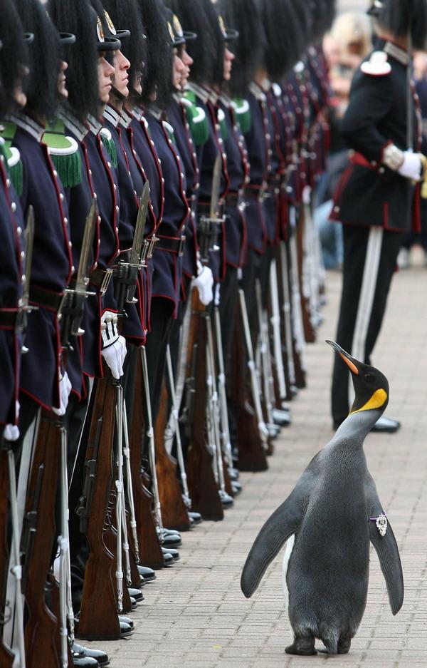 Pingvin ridderen nils olav